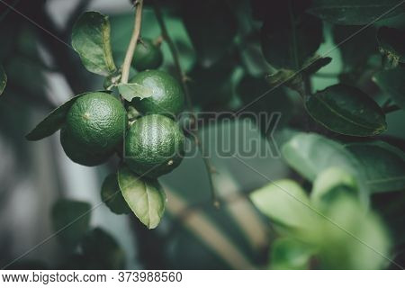 Green Lemon, Tropical Fruit Growing Up In The Garden. Organic Fruit For Juice And Many Menu Of Thai