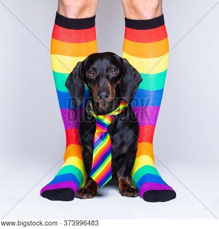 Crazy Funny Gay Homosexual  Dachshund Dog Proud Of Human Rights ,sitting And Waiting, With Rainbow F