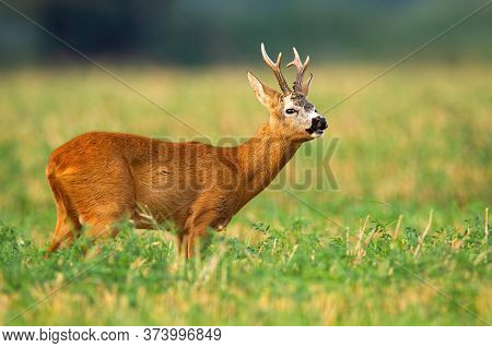 Roe Deer Buck Standing On A Field And Sniffing With Nose In Rutting Season