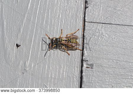 Wasp Landed On Wooden Background In A Garden
