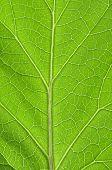 Macro closeup of veins of top side of eggplant leaf poster