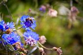 A bunch of blue flowers in full bloom with a bee getting nectar poster