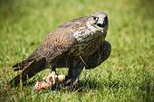 A closeup of a gyr falcon that is in the grass with food in its claw or talon. poster