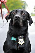 Black Labrador canine police officer wearing badge poster