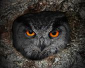 The evil eyes. The Eagle Owl (Bubo bubo) in a hollow tree. poster