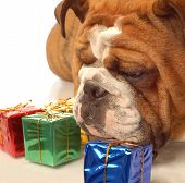 english bulldog with colorful gift wrapped presents poster