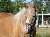 Palomino draught horse with long mane in the field poster