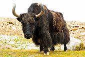 Close up wild yak in Himalaya mountains poster