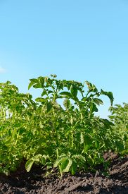Closeup Of A Young Potato Bush On A Farm. Summer Sunny Day. Vertical Orientation, Space For Text.