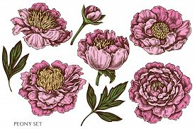 Vector Set Of Hand Drawn Colored Peony Stock Illustration