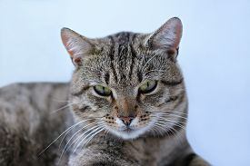 Close-up Portrait Of An Adult Tabby Cat With Green Eyes. The Cat Is Looking At Camera, Front View. S