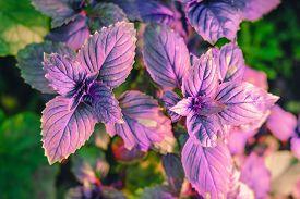 Purple Basil In A Greenhouse. Industrial Production Of Greens. Farmers Greens. Local Gardening Conce