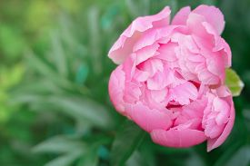Pink Japanese Peony Flower Blooming In A Garden. Beautiful Flower Background Or Calendar Page. Wallp