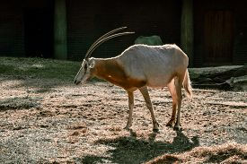 Wild Antelope Oryx With Long Horns On A Walk. Berlin. Germany