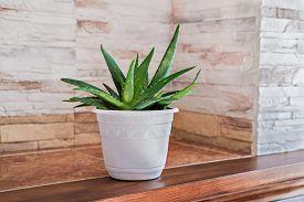 Aloe Plant In White Pot. Minimal Style Home Decor. Close Up View. Hipster Interior. Aloe Vera Flower