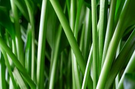 Green Stems Of The Houseplant Aspidistra Elatior Close-up. Horizontal Orientation.