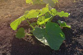 Bush Green Young Pumpkin In A Vegetable Garden. Horizontal Orientation