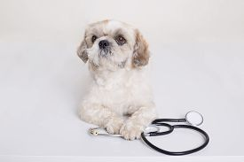 Pekingese Puppy Dog With Stethoscope Near His Paws Posing Isolated Over White Background, Funny Vet