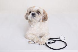 Pekingese Puppy Dog With Stethoscope Near His Paws Posing Isolated Over White Background, Funny Vet
