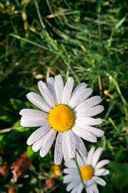 Fresh White Daisy With Dewdrops Or After Rain On Green Meadow Gras Background, Close-up Top View, Ve
