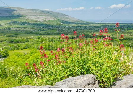 Landscape with Centranthus ruber in Ireland