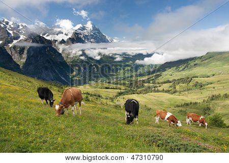 Cows In Alps, Switzerland