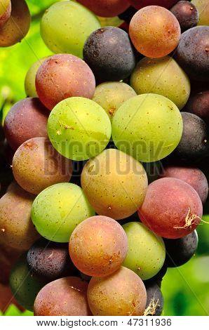 Henry uvas