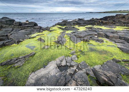 Green Algae On Rocky Nort Irish Coastline
