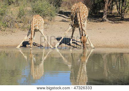 Giraffe - Animal Babies - Wildlife from Africa