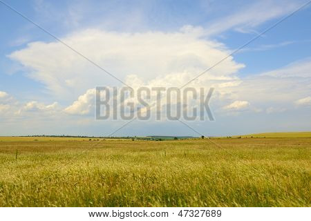 country landscape, yellow wheat field and blue sky with light clouds