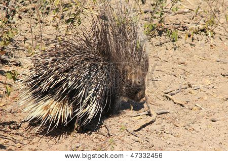 Porcupine from Africa - Safety is a thousand quills all over the place.  Wild and Free Rodent