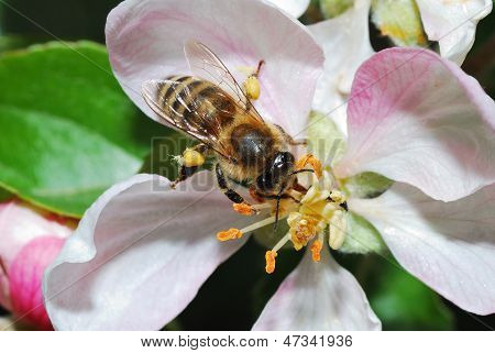 Bee On Apple Blossom