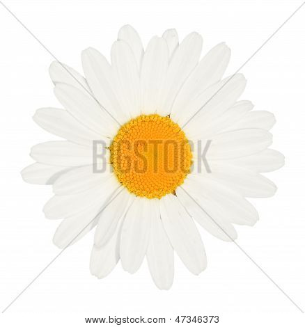Daisy Flower Head Isolated