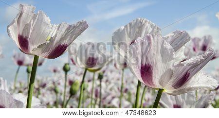 Opium Poppy, Papaver Somniferum