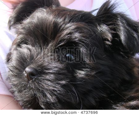 Teacup terrier puppy in the arms of her mistress poster