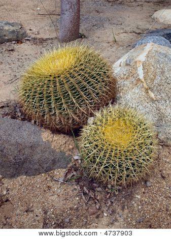 Golden Barrel Cacti_echinocactus Grusonii_001