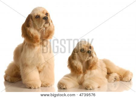two american cocker spaniel dogs isolated on white background poster