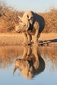 A Rare and Endangered Black Rhino posing for a picture, with its reflection clear and crisp.  Photographed in Africa. poster