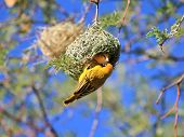 A female Yellow Masked Weaver inspects a nest build by a male (hanging on the outside of the nest).  Photographed in the wilds of Africa. poster
