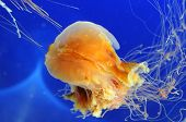 A floating jellyfish in a blue lit aquarium poster
