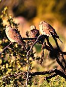 Mourning doves resting on an ocotillo cactus branch poster