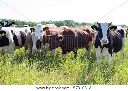 Chatting Cows