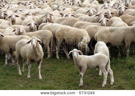 Livestock farm herd of sheep in Germany poster