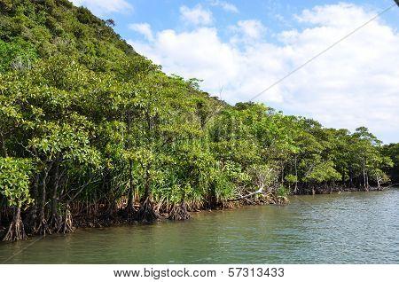 Mangrove At Riverside