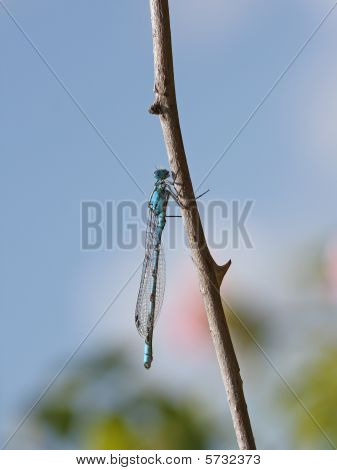 A Blue Damselfly on a wild rose branch poster