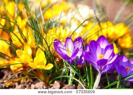 Macro shot of Crocuses field with sunligh