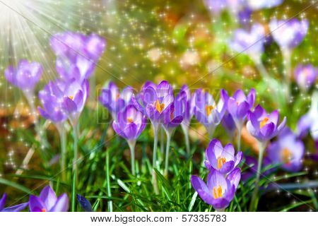 Macro shot of Crocuses field