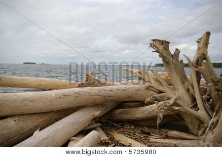 Dead tree on the shore