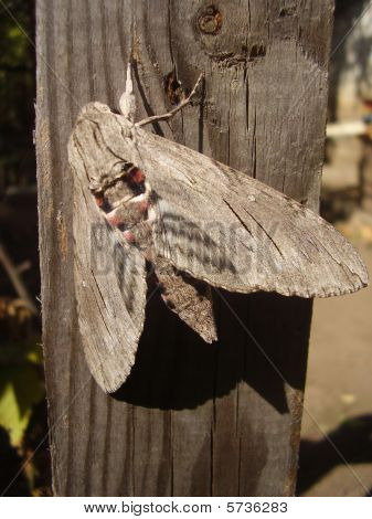 The moth with grey wings and a red-black trunk sits on a board poster