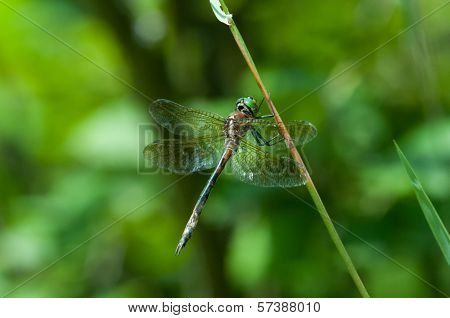 Hine's Emerald dragonfly perched on a plant. poster